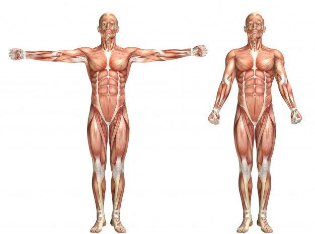 Rodzaje włókien mięśniowych a trening – co musisz wiedzieć?